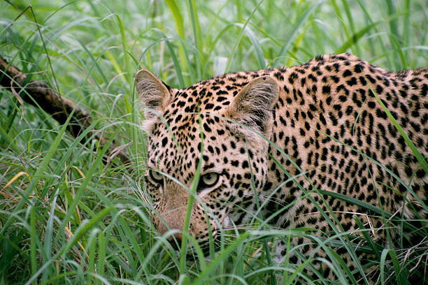 Lepard in hohem Gras – Foto