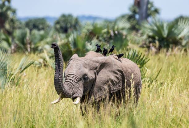 Еlephant walks along the grass with a bird on its back in the Merchinson Falls National Park. Africa. Uganda. stock photo