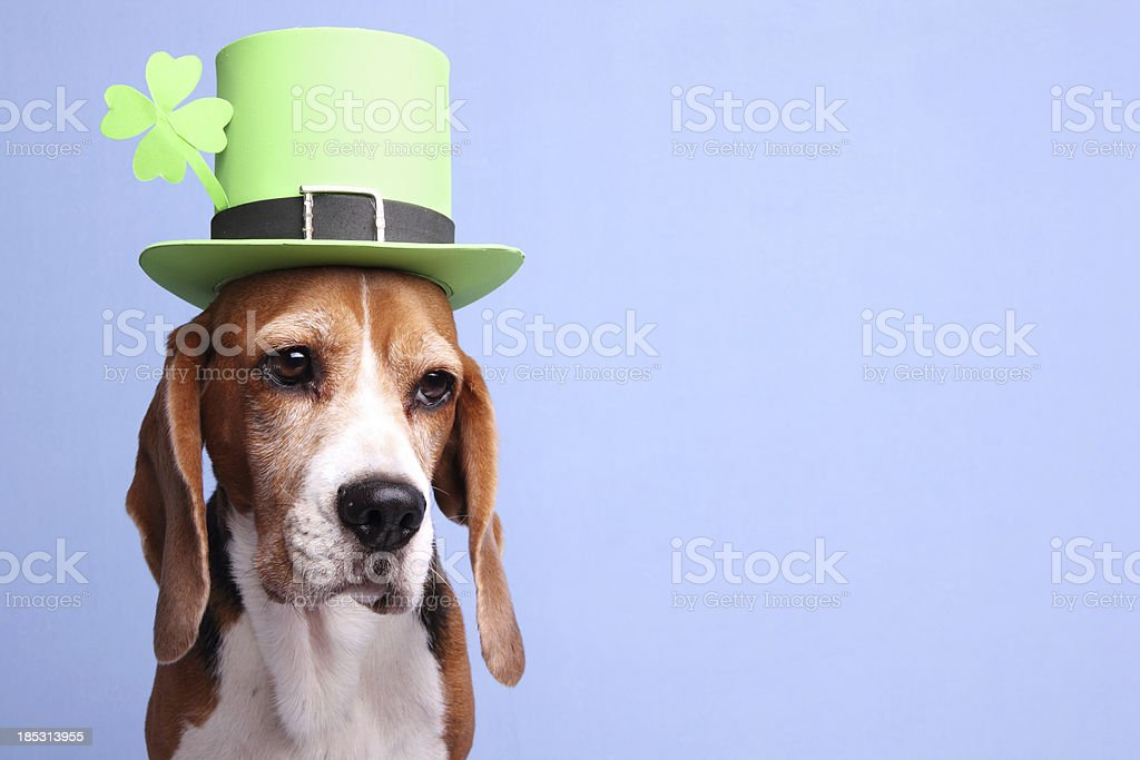 Leprechaun Dog stock photo