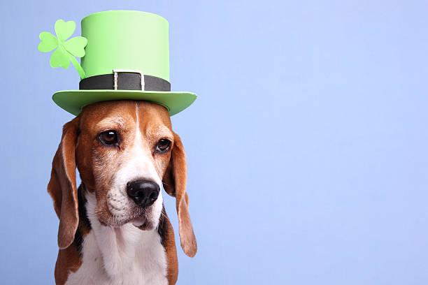 Leprechaun Dog stock photo