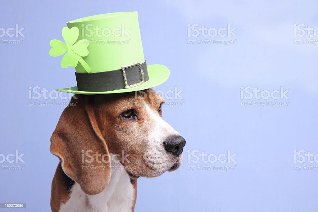 Leprechaun Hound stock photo