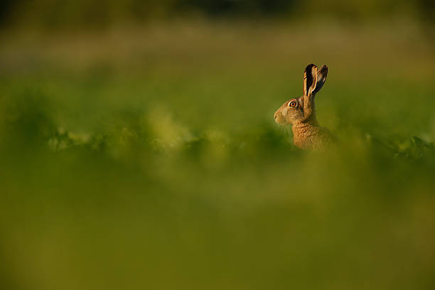 Lepus europaeus - European brown hare