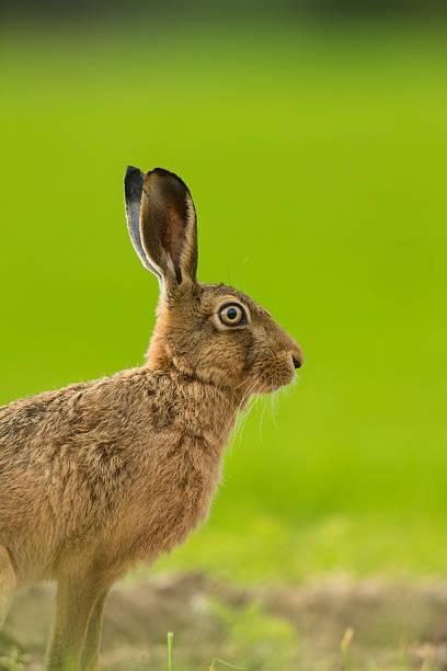 Lepus europaeus - European brown hare stock photo