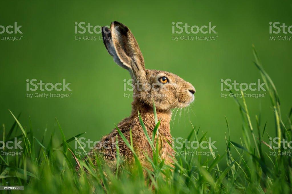 うさぎ座の Europaeus。ヨーロッパの野生のウサギのクローズ アップ。ウサギは、太陽の下で緑の草の上に座って、露の滴で覆われています。 単一野生の茶色のウサギは小麦の緑分野の上に座って。 ロイヤリティフリーストックフォト