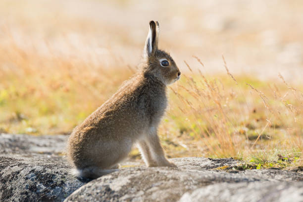 Lepus timidus. Mountain hare close-up in summer pelage, sits on the stones under the sunlight. Lepus timidus, also known as  tundra hare, in summer color. North of Russia, Arkhangelsk region stock photo