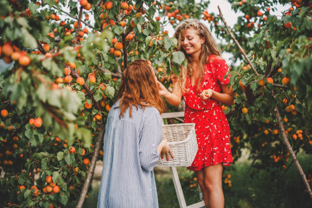 Lesbian couple harvesting peach in nature stock photo