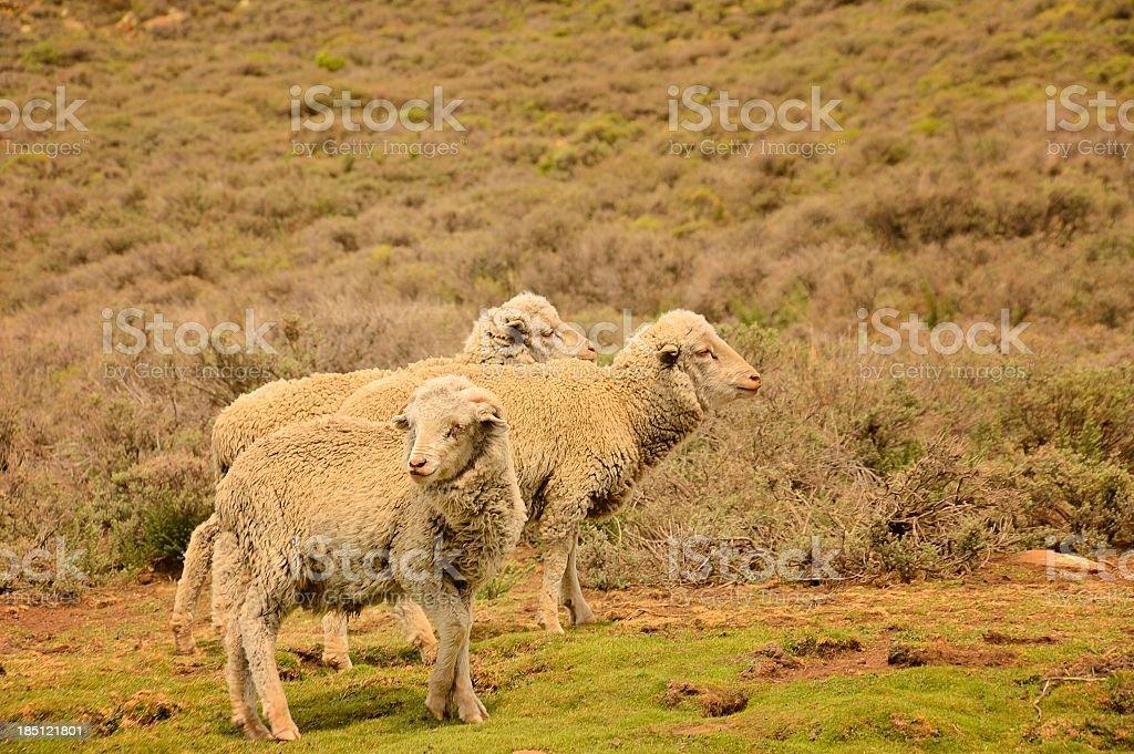 Lesotho Sheep stock photo