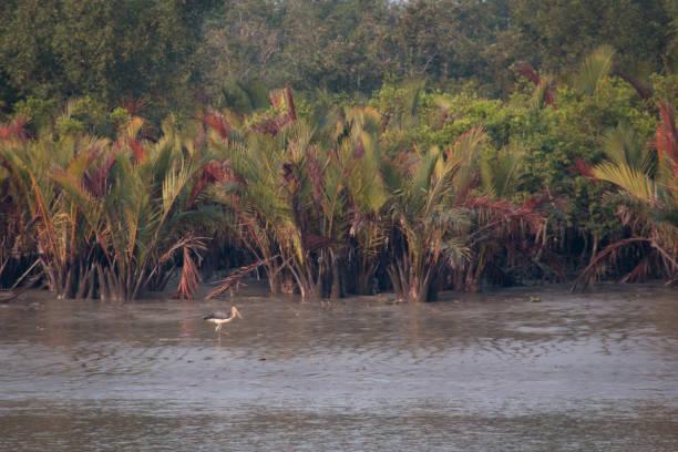Lesser Adjutant in Sundarbans national park in Bangladesh Lesser Adjutant or Leptoptilos javanicus in the Sundarbans national park, famous for its Royal Bengal Tiger in Bangladesh adjutant stock pictures, royalty-free photos & images