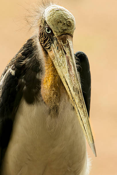 lesser adjutant lesser adjutant adjutant stock pictures, royalty-free photos & images