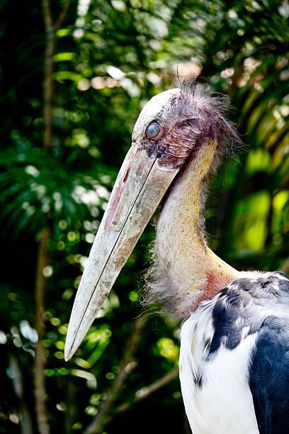 Lesser Adjutant Stork Bird Blink Its Eye Lesser Adjutant Stork Bird Blink Its Eye adjutant stock pictures, royalty-free photos & images