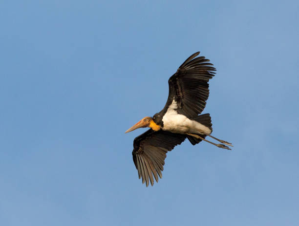 Lesser Adjutant Stork Flying with Spread Wings in Borneo A lesser adjutant stork is flying with spread wings under a clear blue sky in the area of the Kinabatangan River in Sabah, Borneo. adjutant stock pictures, royalty-free photos & images