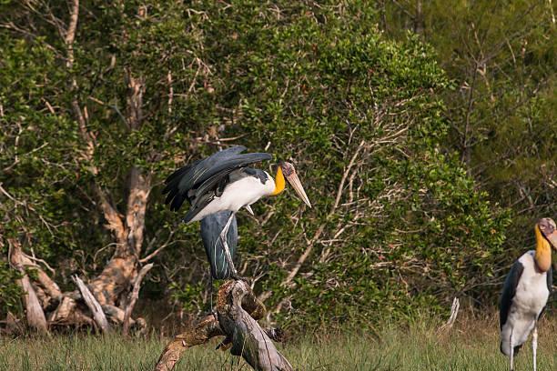 Lesser adjutant stork (Leptoptilos javanicus) Lesser adjutant stork (Leptoptilos javanicus) in nature, Ko Phra Thong: Thailand adjutant stock pictures, royalty-free photos & images