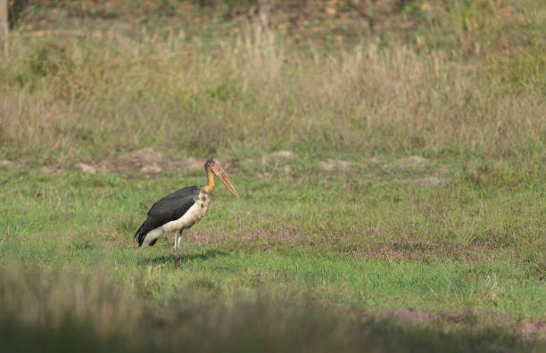 Lesser Adjutant Stork Lesser Adjutant Stork adjutant stock pictures, royalty-free photos & images