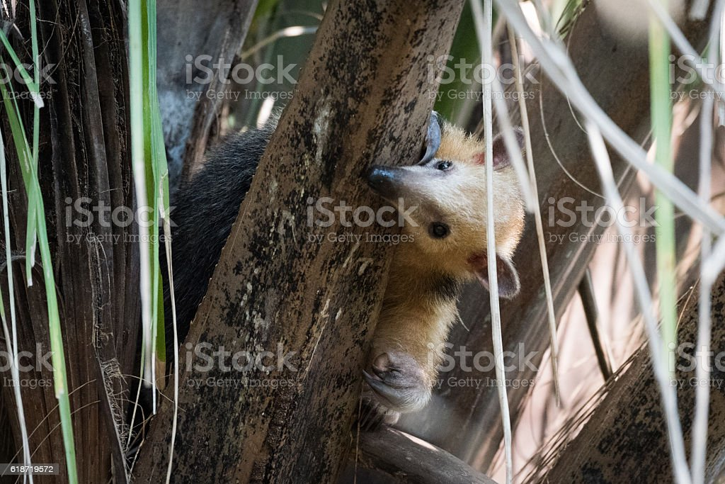 Lesser anteater in tree peeping around branch stock photo