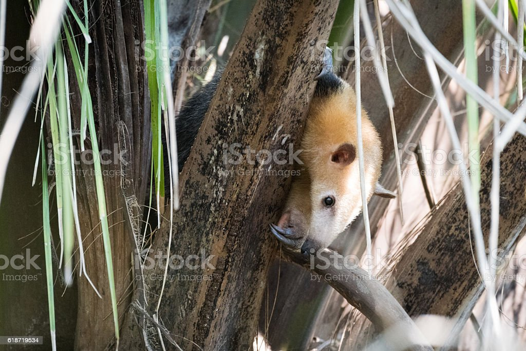 Lesser anteater in tree peeping through branches stock photo