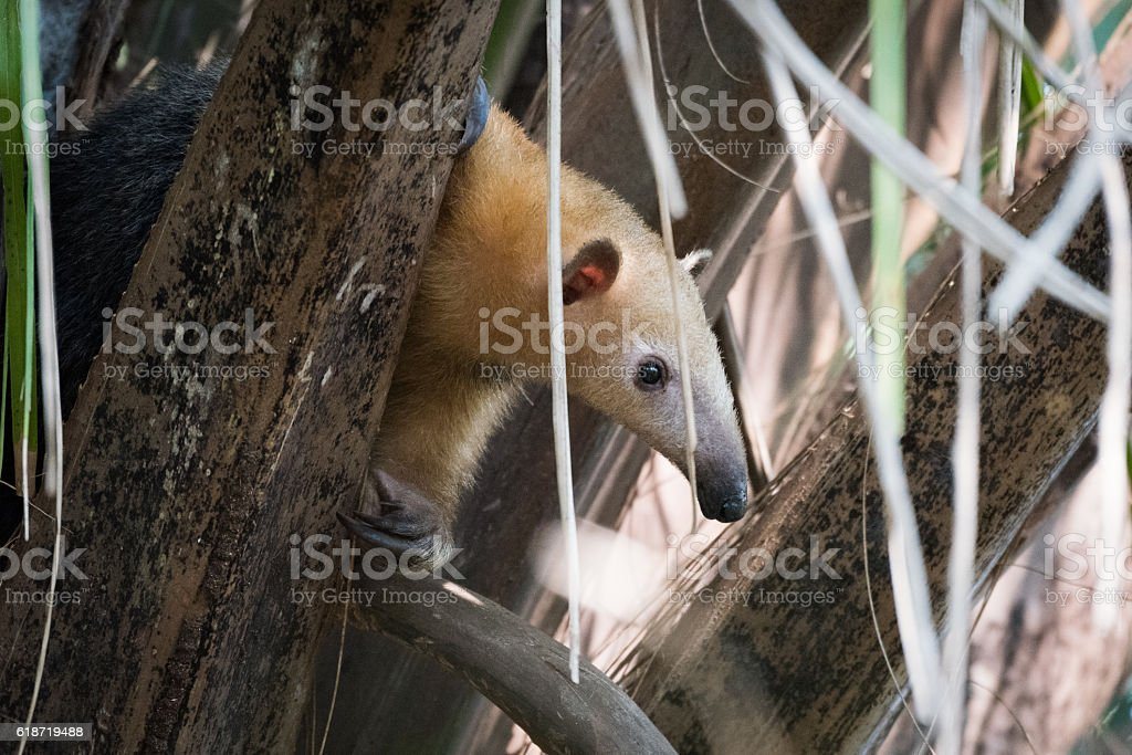 Lesser anteater in tree peeping through leaves stock photo