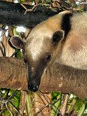 A Lesser Anteater resting