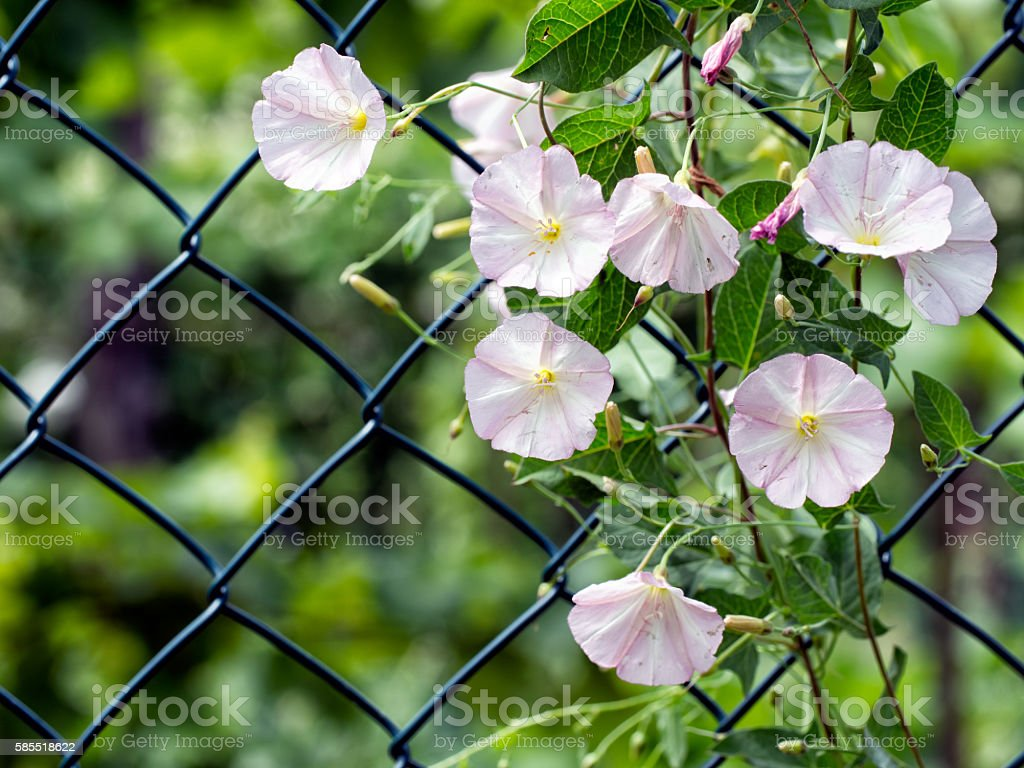 Lesser bindweed growing up fence. stock photo