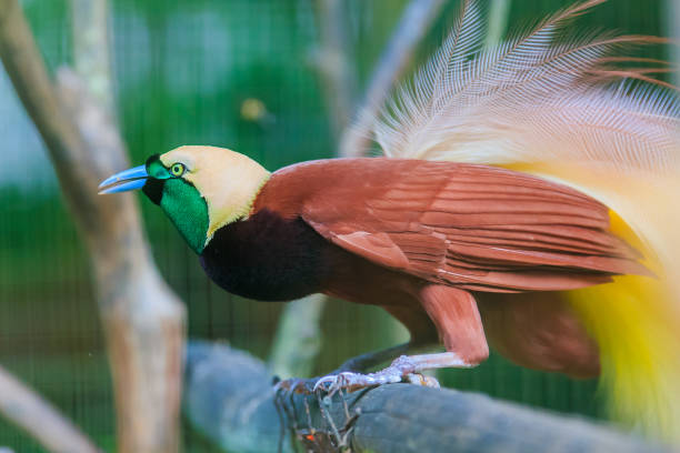 Lesser Bird of Paradise stock photo