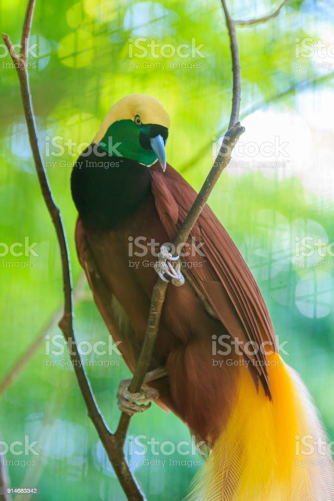 Menor ave del paraíso - foto de stock