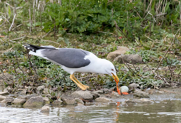 lesser black backed gull eating black headed gulls egg - heringsmöwe stock-fotos und bilder