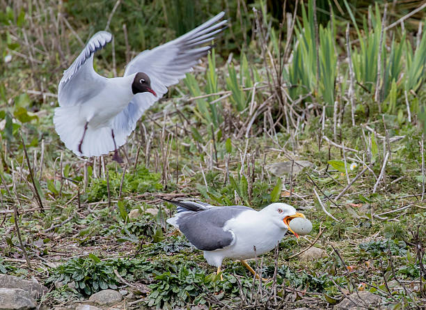 lesser black backed gull stealing black headed gulls egg - heringsmöwe stock-fotos und bilder