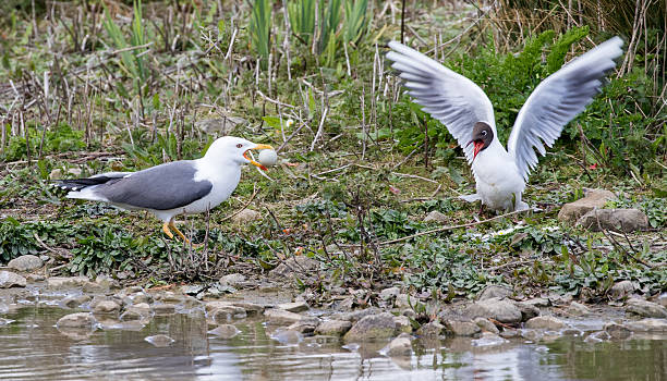lesser black backed gull with black headed gulls egg - heringsmöwe stock-fotos und bilder
