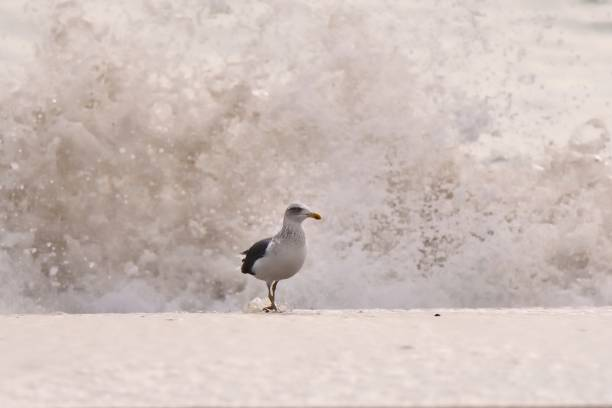 geringerem black-backed gull in surf - heringsmöwe stock-fotos und bilder