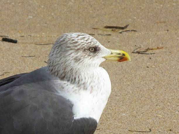 lesser black-backed gull (larus fuscus) am strand von florida - heringsmöwe stock-fotos und bilder