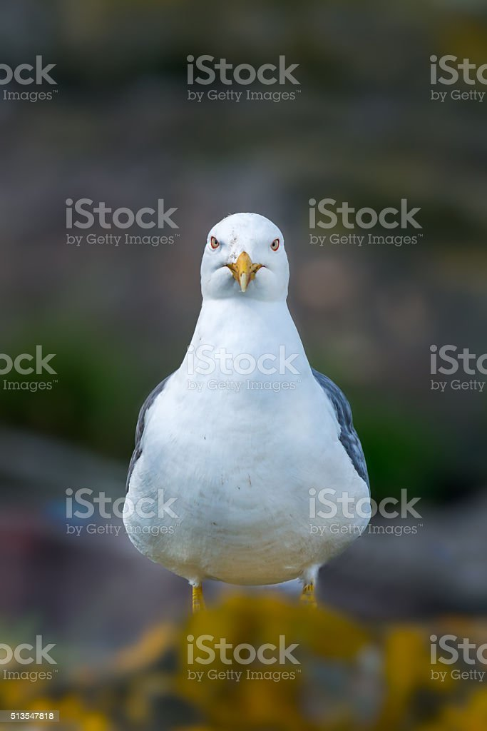 Lesser black-backed gull staring stock photo