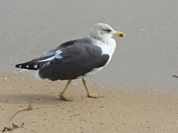 lesser black-backed gull (larus fuscus) zu fuß an einem strand in florida - heringsmöwe stock-fotos und bilder