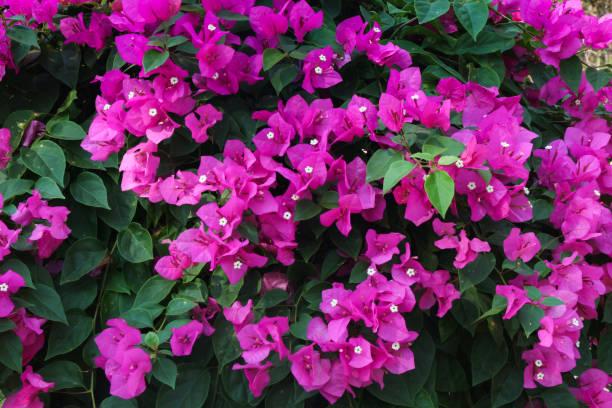 Menor buganvilla (Bougainvillea glabra), arbusto decorativos exuberantes grande de la flores de buganvillas con flores de color carmesís brillante - foto de stock