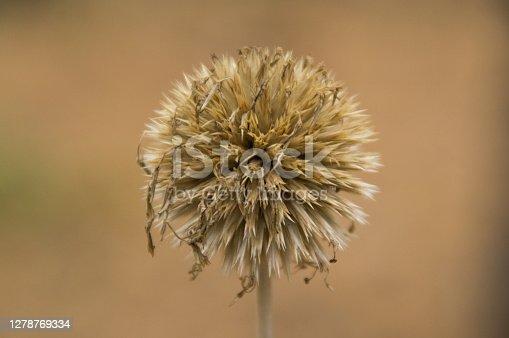 Lesser burdock, Arctium minus, Burweed Spear Thistle