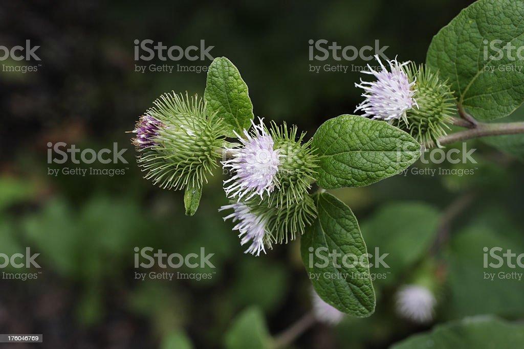 Apatura burdock i fiori viola conquistare bave portare a Velcro - foto stock