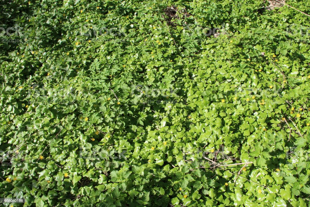 Lesser celandine and nettle growing in forest. Brushwood of spring plants stock photo