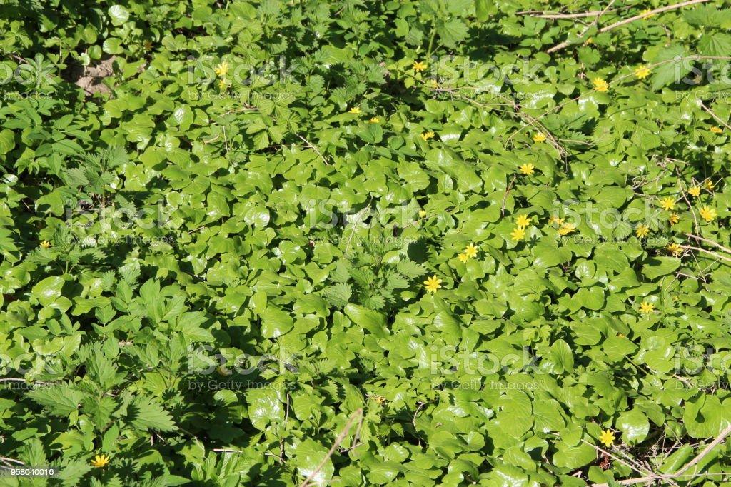 Lesser celandine growing in forest. Brushwood of spring flowers stock photo