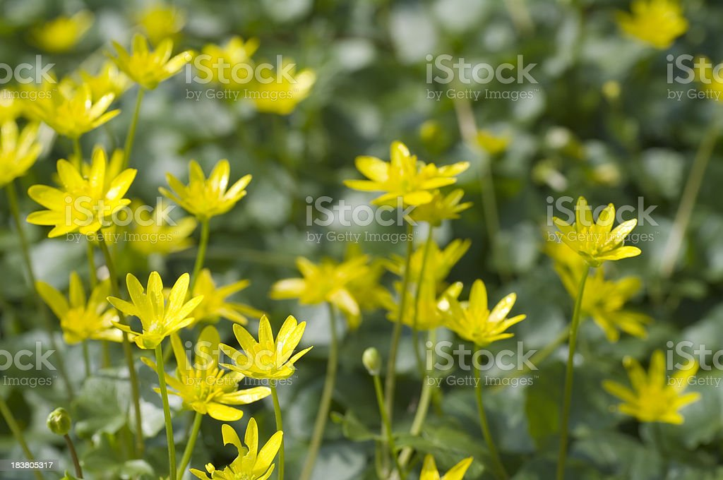 Lesser Celandine (Ranunculus ficaria) foto
