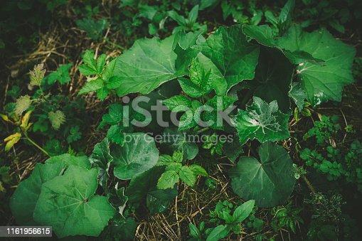 Lesser Celandine, Ranunculus ficaria, the kidney shaped leaf.