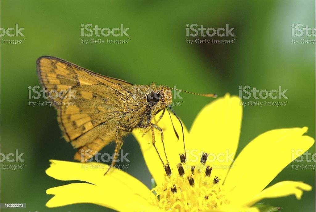 Lesser Dart feeding on daisy (Singapore butterfly) stock photo
