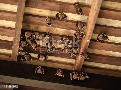 Group of Lesser Dog-faced Fruit Bat, Cyneropterus brachyotis. Also called Short-nosed or Common Fruit Bat. Animals hanging in the roof. Sungei Buloh Wetland Reserve, Singapore.