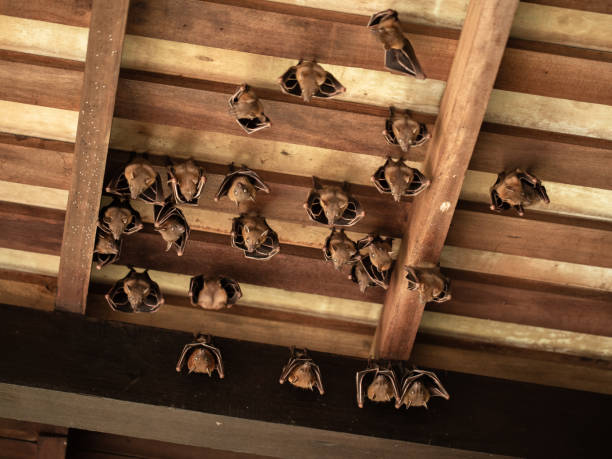 Lesser Dog-faced Fruit Bat, Cyneropterus brachyotis, hanging in a roof stock photo
