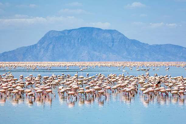 Lesser flamingos feeding on Lake Natron with Mount Shompole / Tanzania Lesser flamingos feed on Lake Natron with Shompole volcano (situated on the border of Kenya and Tanzania) in the distance at the northern end of the lake. Lesser Flamingo (Phoeniconaias Minor) in Lake Natron - Tanzania. Lake Natron is the only regular breeding area in East Africa for the 2.5 million Lesser Flamingoes. Lake Natron is a salt lake located in northern Tanzania, close to the Kenyan border, in the eastern branch of the East African Rift. Lake Natron in northern Tanzania is one of the most alkaline of the Rift system.As its waters evaporate in the intense heat, sodium sesquicarbonate, known as trona or natron, solidifies to resemble giant coral heads in brightly coloured water.  evaporation stock pictures, royalty-free photos & images