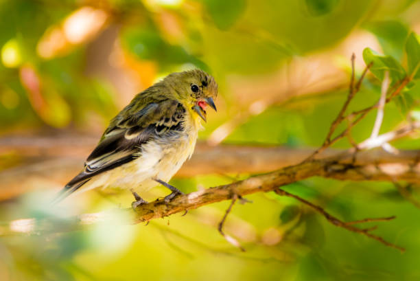 Lesser Gold finch stock photo