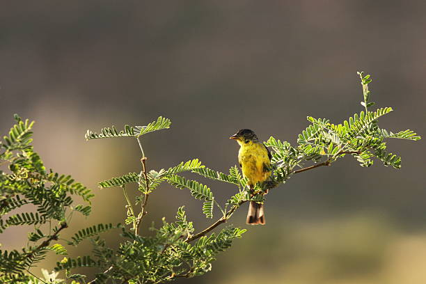 """Lesser Goldfinch Carduelis psaltria Perching Bird """"Lesser Goldfinch or Dark-Backed Finch Carduelis psaltria perched on a mequite branch in sunrise lighting, in first summer plumage.  Yavapai County, Arizona, 2012."""" american goldfinch stock pictures, royalty-free photos & images"""