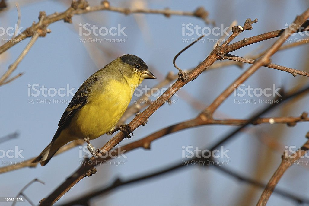 Lesser Goldfinch On Perch royalty-free stock photo