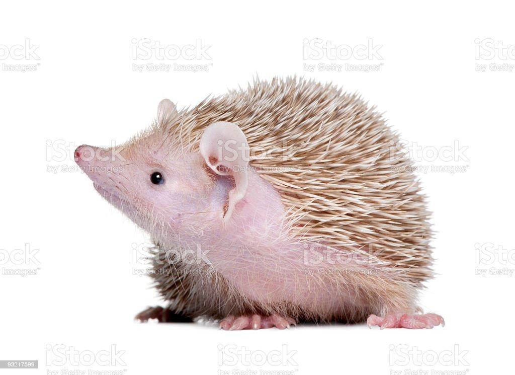 Lesser Hedgehog Tenrec - Echinops telfairi royalty-free stock photo