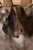 istock Lesser Horseshoe Bat with its young (Rhinolophus hipposideros), hanging, sleeping inside an old house.Spain 960570256