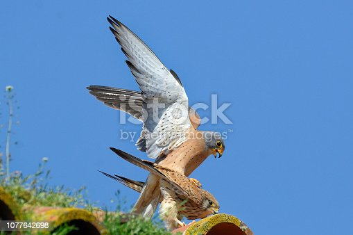lesser kestrel in mating (Falco naumanni)