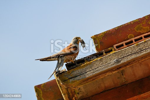 Lesser kestrel with mouse (Falco naumanni)