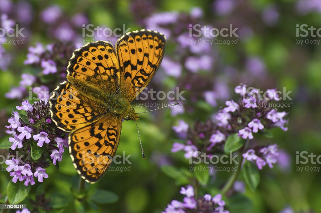 Lesser Marbled Fritillary (Brenthis ino) stock photo